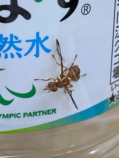 この虫は何という名前ですか? ハエやハチに似ているとおもいます