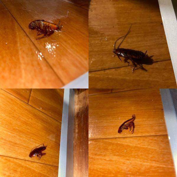 この虫は何という名前ですか?家に出ました。 ゴキブリでしょうか