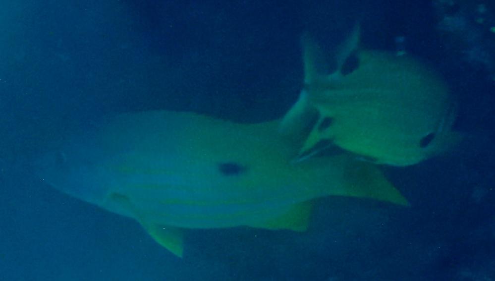 写真のお魚の名称を教えて下さい。 撮影地:慶良間諸島 日付:5/6
