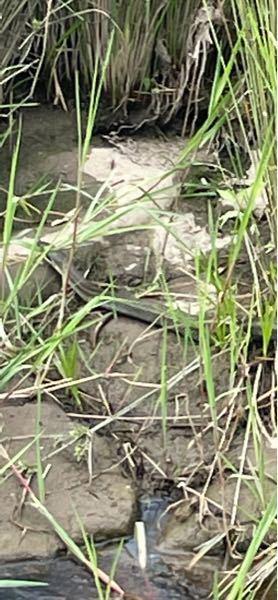 川で蛇を見つけたのですがこの蛇の種類は何ですか?