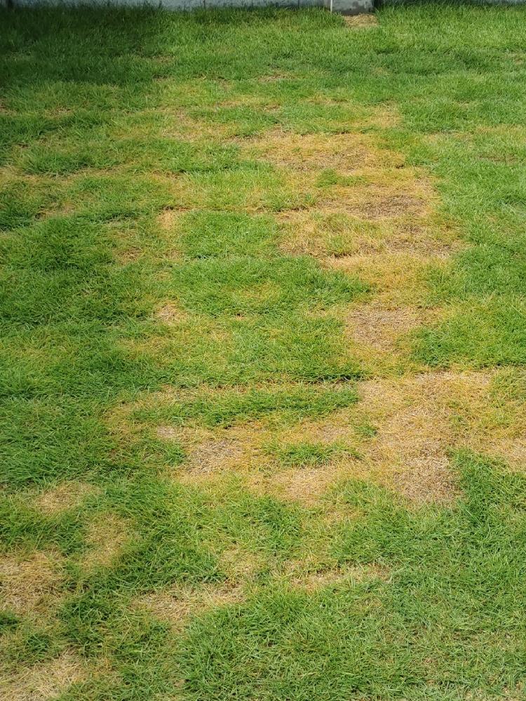 芝生について質問です。 6月中旬に芝生を張りました。約1ヶ月がたち一部黄色く?茶色くなってしまいました。 水は雨の日以外は朝夕撒いていたので問題ないかと思います。心当たりとしては4月に除草剤を撒いたのでその影響なのかなと思ってます。 他にどういった原因が考えられますか? また復活は可能でしょうか?