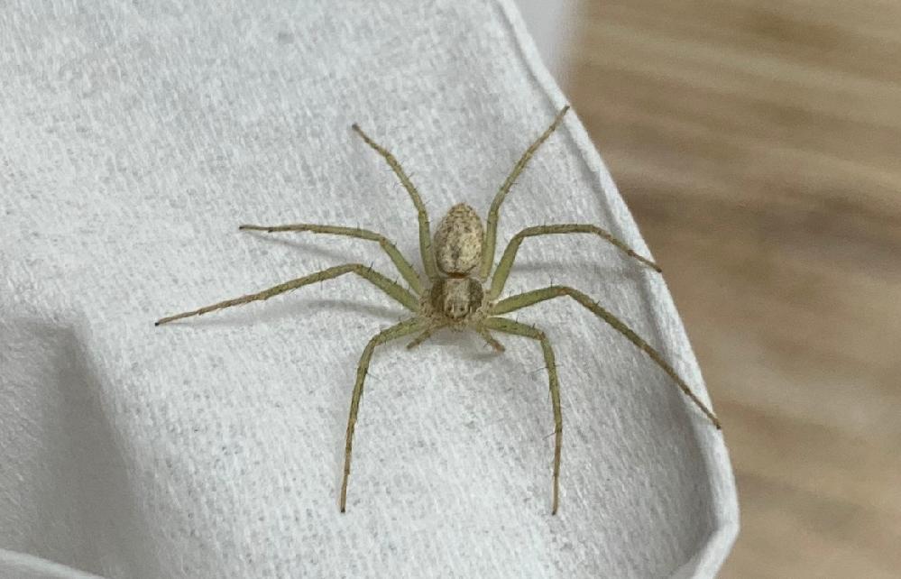 こちらのクモの名前分かる方いらっしゃいますか? 脚を除く胴体部分の長さが5mmほどのクモです。 よろしくお願いします。