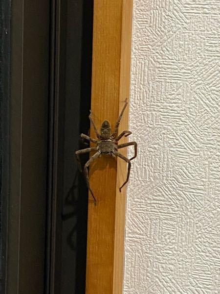 これはアシダカグモですか、、?