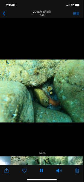 新潟の鯨波海水浴場でシュノーケリングをしたのですが、2.5メートル弱あたりの岩穴に謎の生命体がいました。 タコなのかなと思ったのですがこれは何でしょうか?