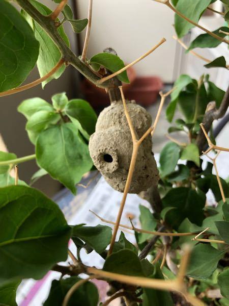 ブーゲンビリアが枯れたので見てみたら幹に何かの巣の様な物がくっついていました。 これはいったい何なのでしょうか?