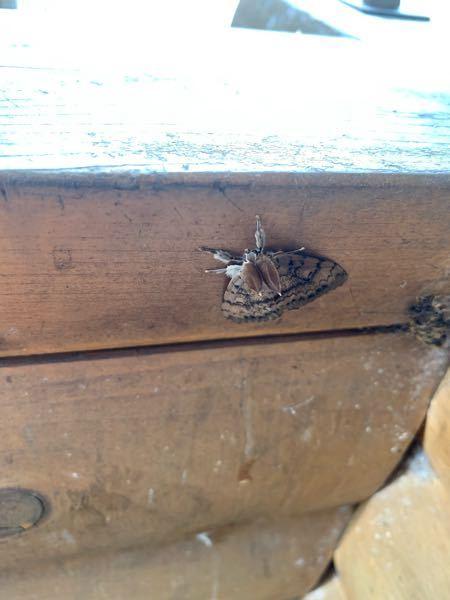 これはなんという名前の蛾ですか? うさぎのようで可愛かったです!