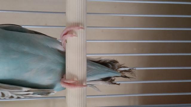 セキセイインコ♀が尾羽根咬み切ってしまいました。ケージに入ると大人しいのですが放鳥するとオシリのまわりの羽根も咬んでます。やはり何かストレスでしょうか?