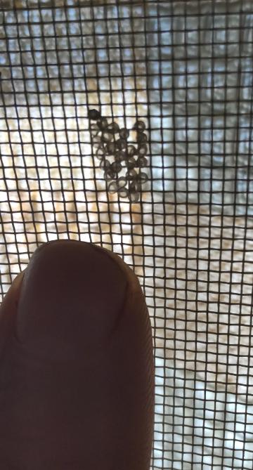 網戸に虫が卵を産みました 何の卵ですか 下の黒いのはわたしの人差し指