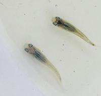 メダカについて   青メダカか幹之メダカから青いメダカが生まれてきました。  どちらも同種交配で、青メダカと幹之メダカは掛け合わせていません。 まだ2センチいかないくらいの稚魚です。  生まれた稚魚を同じ水槽で飼育したのでどちらが親かはわかりません。 ペットショップから買ってきて最初の稚魚です。F1ということでしょうか。  マリンブルーか深海という種類なのでしょうか?