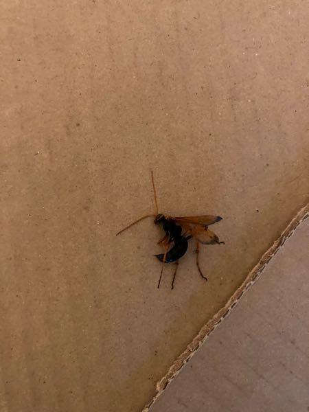 この蜂に刺されました。この蜂の名前をご存知なら教えてください!