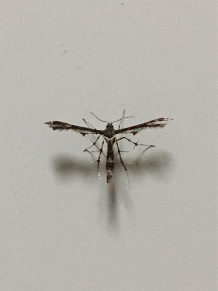 家にいたこの虫は何という虫でしょうか? 一瞬蚊のように見えましたが針は無いように見えたので、どんな虫なのか気になりました。 わかる方いたら教えて頂きたいですm(_ _)m