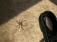 この蜘蛛って駆除しないほうがよいですよね??人間に害はないですか?赤ちゃんがいるので(>人<;) 二匹います!怖い!至急返事待ってます。
