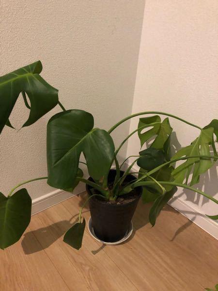 観葉植物のモンステラについて質問です。 買ってから少しして、元気がなくなってきてしまいました。 鉢が小さいのでしょうか? 活性剤を刺したのですがまったくかわりません… 横に沢山ひろがってしまい、縦に大きくするにはどうしたらいいでしょうか? 全くの初心者です。
