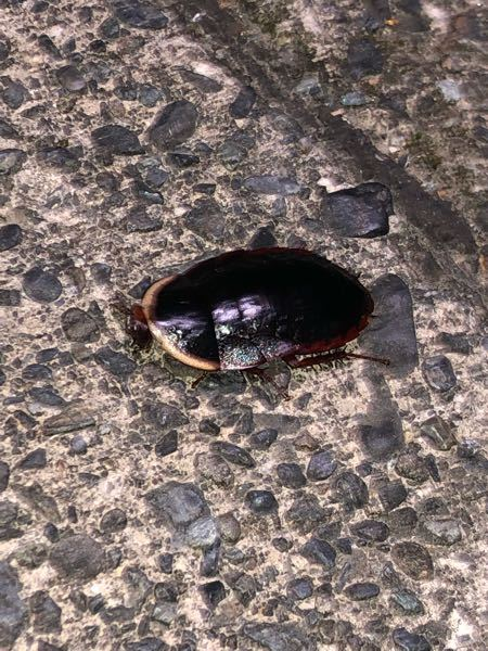 このゴキブリはなんてゴキブリですか?