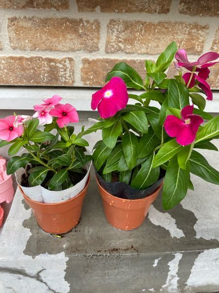 この2つのお花は何ていうお花ですか? お花に無知なので教えてください。