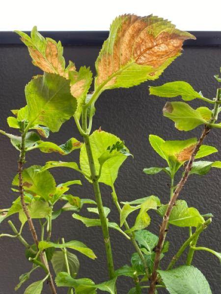 アジサイの育て方について、ご回答をお願い致します。 外に咲いている花が終わっているアジサイを見ると、凄く短く切られていますが、この葉(枝)3本は切っても大丈夫でしょうか? ご回答をお願い致します。