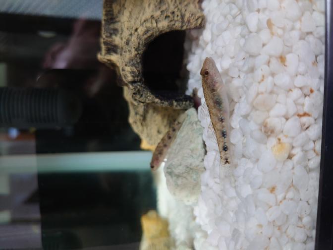写真の魚はヨシノボリですか? それともヒナハゼですか? 詳しい人いましたら教えて下さい。