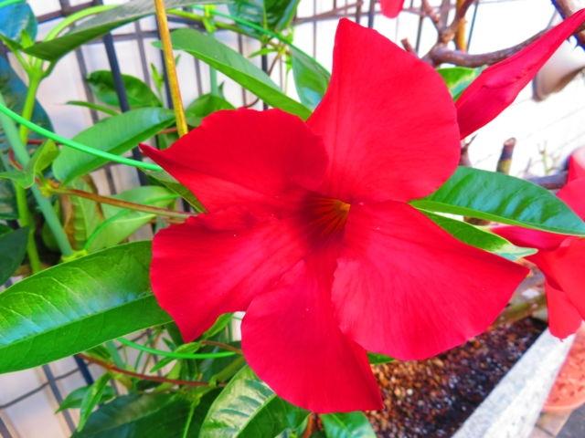 この花はマンデビラでしょうか? 宜しくお願い致します
