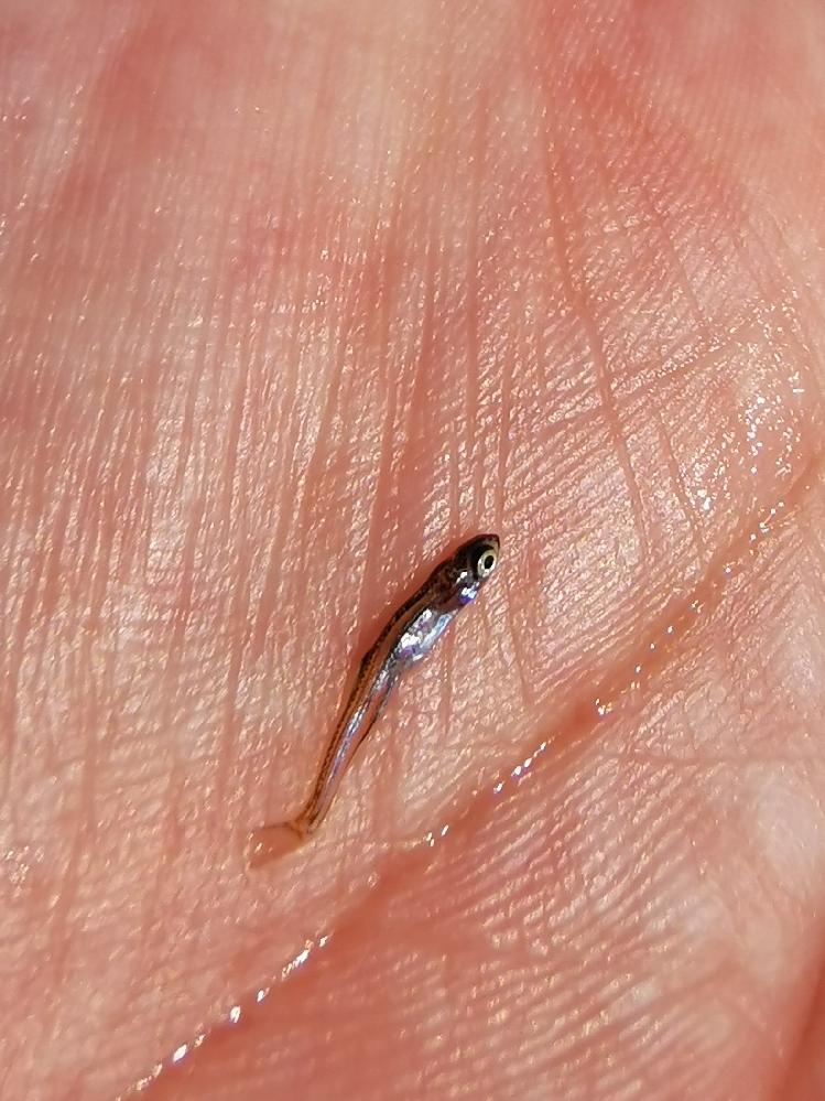 川で見つけたこの魚の名前分かりますか?何かの稚魚だと思います。
