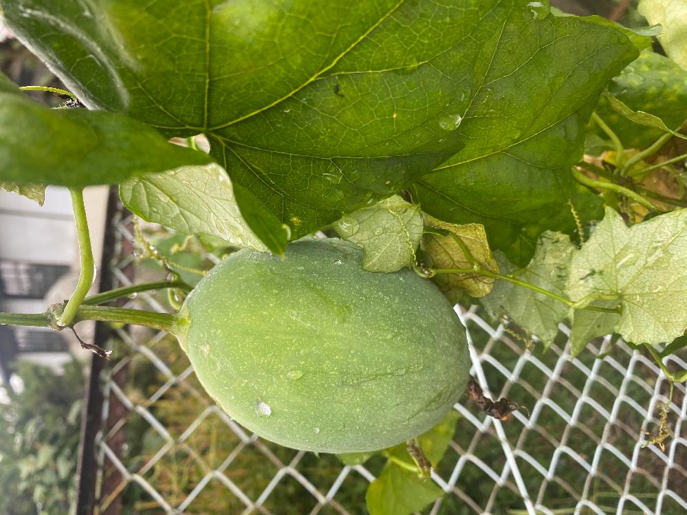 庭に生えてる蔓から実が出来ているのですがこの植物の名前は何ですか?また食べられるものでしょうか?