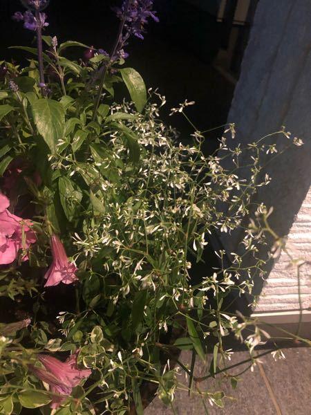 この白いお花の名前がわかる方いらっしゃいますか? 寄せ植え用で色々買ってきたものの、このお花だけ名前が分かりません。 ハナノナというアプリで調べましたが、ナイトジャスミンやらマメ科やらと出てきました。 絶対違う,,,笑