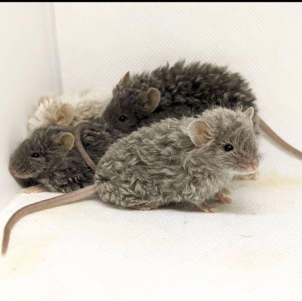 こちらのネズミさんの種類が知りたいです! クリクリしててめちゃくちゃ可愛いので飼いたいです。