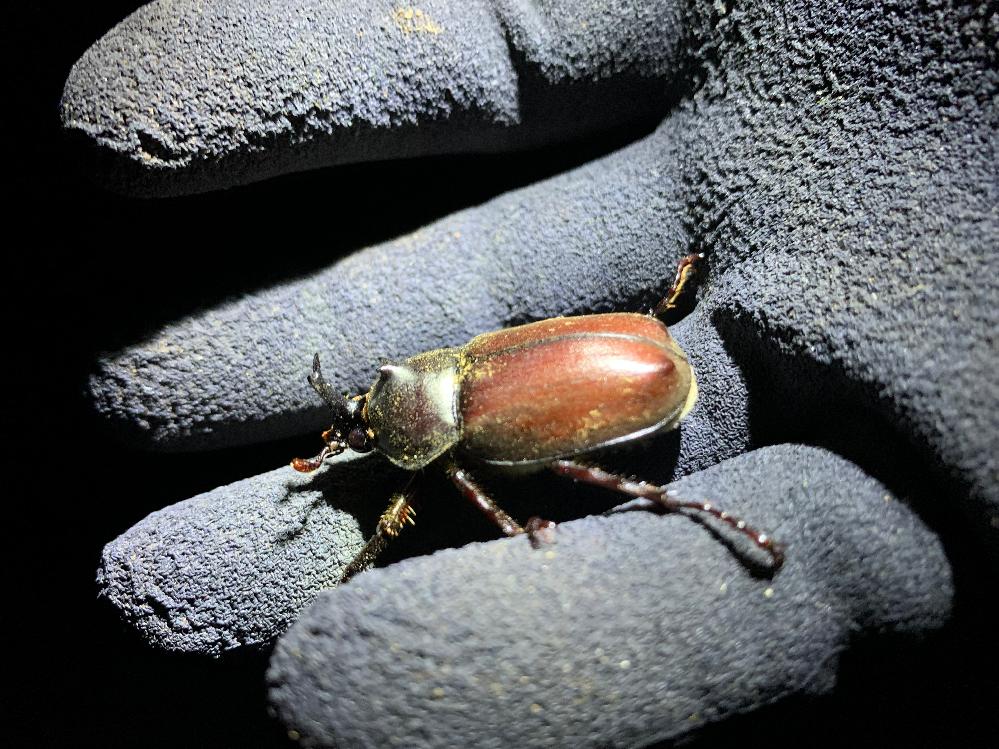 こちらのカブトムシは国産ですかね? 日本国内野外で見つけたのですが、通常見るオスよりも身体が小さく角が小さいです。