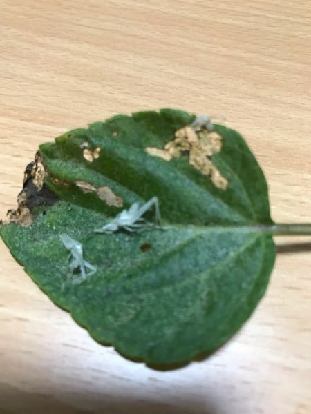 枯れたサルビアの葉っぱに付いてたのですがこれは何でしょうか? 何かの抜け殻みたいです。