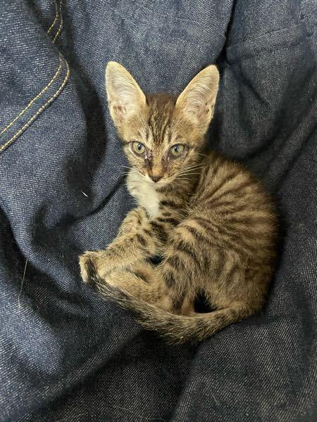 この子、将来どんな猫になりますかね?毛長でしょうか?耳大きくてネットで調べたキジトラ系のことはちょっと違う気がするんですけど、、、何と何が混ざった猫とかわかる方いますか?