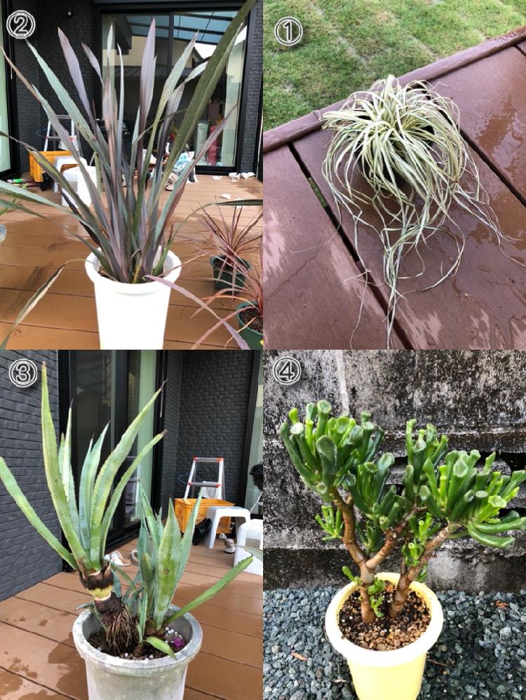 画像の植物の名前を教えてください。 画像の左上にそれぞれ番号を振ってます。 ①〜④わかる範囲で教えていただけると助かります。 近所の方が②はリュウゼツランと言われたのですが、違う気がします。 ③はアガベの中でも何という名前か知りたいです。 よろしくお願いします。