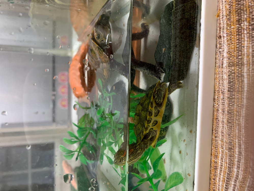 甲羅の幅4センチ長さ4センチ半ほどの赤ちゃんミドリカメの質問です。 拾ってきて一月経ちません。 初めは意外にもすぐ、餌を食べて元気でしたが最近、元気がなく寝てばかりいます。朝一で餌も食べません。同じ水槽で共存している石亀がいます。水が汚れるのが早く、2、3日おきに変えていますがカルキ抜きはしません。外傷は特にみられません。 どなたか、原因と差し支えなければアドバイスお願いします。どんな些細な事でも構いません。