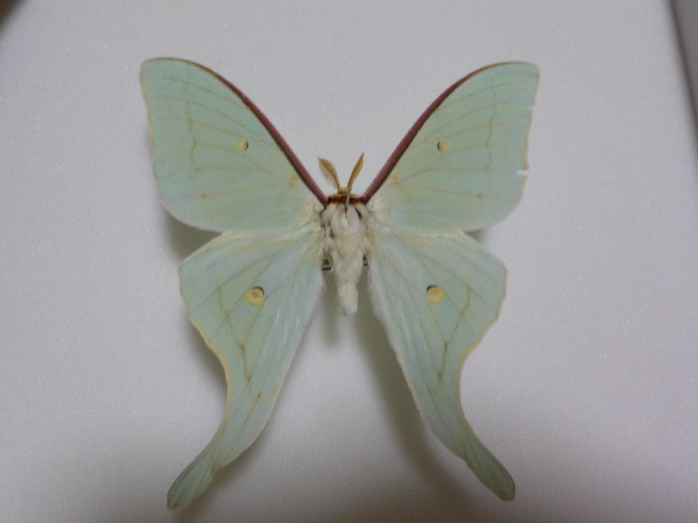 この蛾の種類は何ですか? その2 オナガミズアオですか? 兵庫県産 6月採集です。