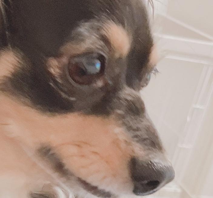 こんばんは。 飼い犬なのですが、チワワとダックスのミックスで今年で5歳になります。 犬のマズルの付け根に骨なのかしこりなのか、かなり硬いものがあります。1年ほど前から少しずつ大きくなってきたので...