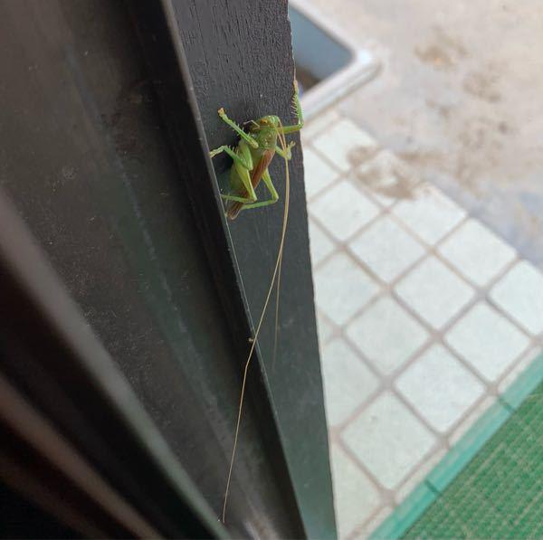 今朝玄関にこんな虫がいました。この種類わかる方いますか?触覚が長いです。