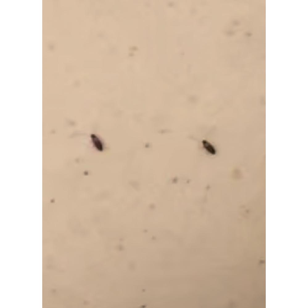 最近、台所に写真のような虫が数匹います。 非常に見にくいと思うのですが、この虫はなんという虫がわかりますでしょうか? また、対処法を教えてください。