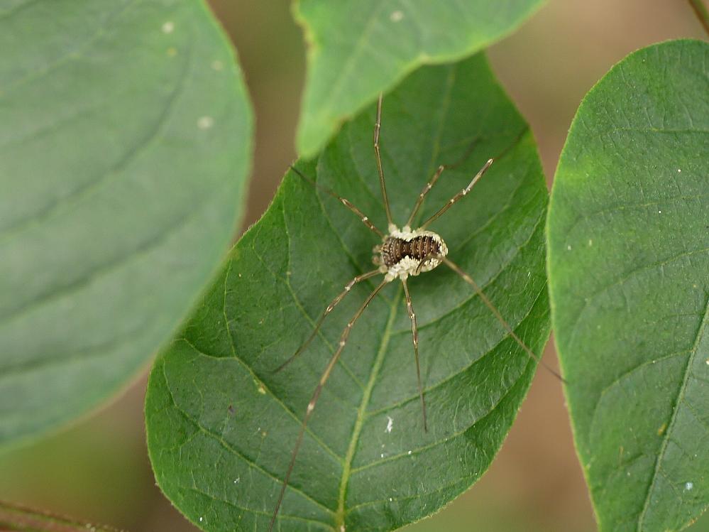 このクモの名前を教えて下さい。よろしくお願いいたします。