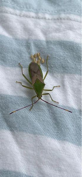 ベランダにこんな虫がいて洗濯物や網戸に卵を産みつけて困っています。これは何という虫でしょうか。また対策があれば教えて下さい。宜しくお願いします。