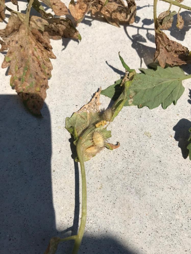 庭で育てているトマトの葉にいた虫です。 卵を産んでるようなので成虫だと思うのですが、いくら調べても正体が分かりません。 どんぐりくらいの大きさです。 ご存知の方いらっしゃいますか?