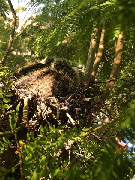 実家の庭の木に鳥が巣を作っていて、ヒナがいます。 何の鳥でしょうか??