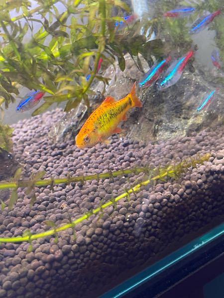 この黄色い熱帯魚の名前を教えてください。