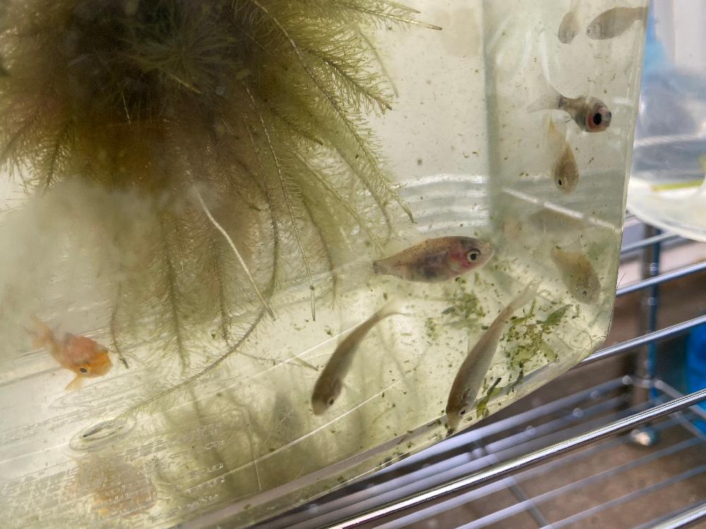 川で捕まえてきたこの子たちは なんていうお魚でしょうか? 赤色に黒の斑点があったり(画像左) 身体が透明で内臓がすけて目が真っ黒だったり(画像右) 銀色の子もいます! サイズはメダカぐらいです。 メダカに似たカダヤシという 魚がいるそうですが尾っぽが 全く違いフナのような見た目を しているような気がします。