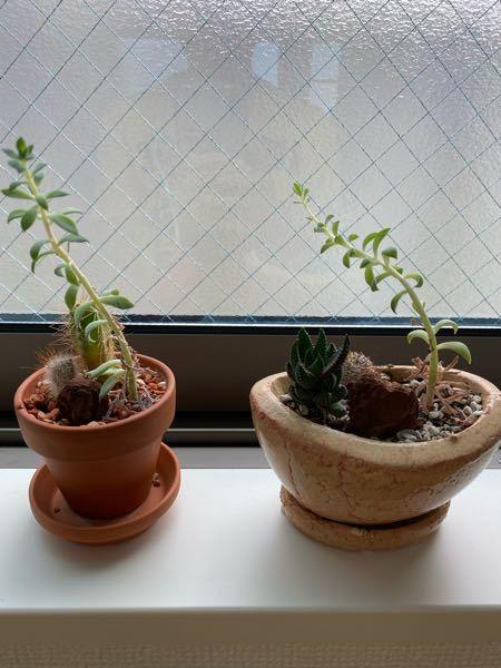 購入時よりだいぶ伸びてきた観葉植物。 かなり伸びてきているのですが 上の方はカットするものでしょうか?