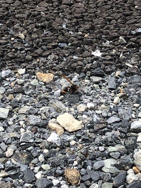 この蜂の種類を教えて頂けますでしょうか? 毎日何回も何回も玄関先のジャリに何かを集めに来ております。 わかりづらい写真で申し訳ないのですが、これが近づける限界でした… よろしくお願いします。