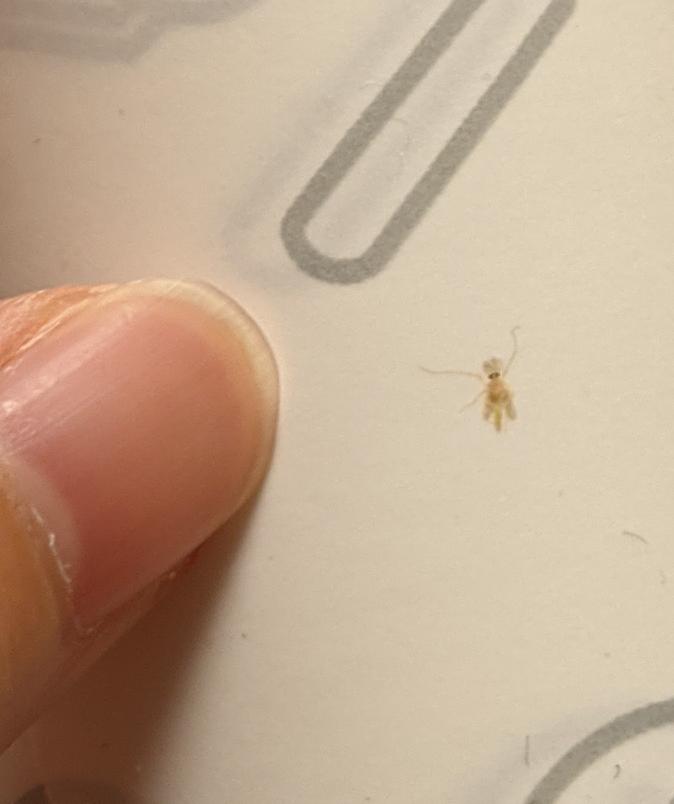 虫に詳しい人に質問です。 写真に写っている黄色っぽい虫はなんですか?写真の指は親指です。虫の大きさ2、3ミリ位で光に向かって飛びます。ハエ、ユスリカ、チョウバエは調べた写真を見たところ違う気がします。私の撮った写真の虫はよく見ると黒い目があります。 あと、部屋の中に入って来ないようにする対策はありますか?網戸の虫除けスプレーとかけるタイプの虫コナーズと置くタイプの虫コナーズを使用しているのですが普通に部屋の中で飛んでいるので困ってます。