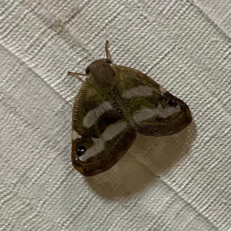 家にいた小さい蛾なのですが、何という種類ですか?