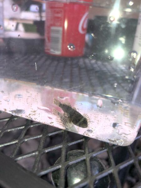 この魚はなんと言う魚ですか? 埼玉の川でとれました。