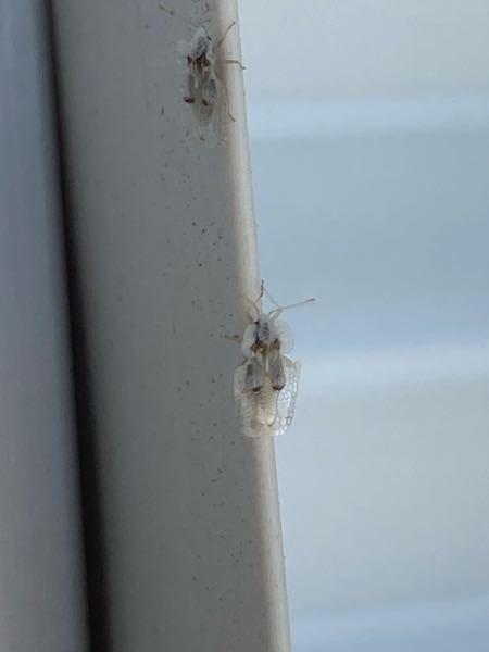 ベランダの白い洗濯物や室外機付近にたくさん付いているこの虫は何ですか? 駆除方法もあれば教えてください。