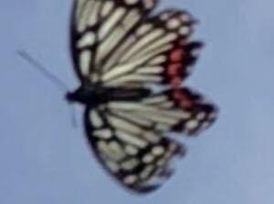 このアゲハチョウらしきチョウチョの名前分かりませんか? 綺麗なチョウを発見し慌てて動画撮影するも… 切り取ってもこれが限界でした…(ノ_<) よろしくお願い致します☆