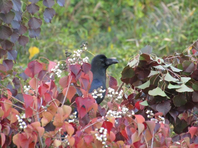 この鳥はカラスでしょうか? 昨年、撮った写真なのですが、種類が分かりません。 この写真を使って、愛鳥週間ポスターを描こうと思っており、そこに鳥の種類を書かなければなりません。 よろしくお願いします
