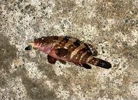 キジハタを釣りました。 約25センチでしたが、根魚は成長するまで時間がかかるということでリリースしました。 皆さんどれくらいをリリースの基準値としてますか?